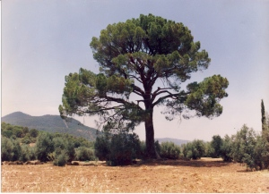 Pino piñonero o doncel. Cortijo de Cristales (Sierra de Segura, Jaén, Andalucía)